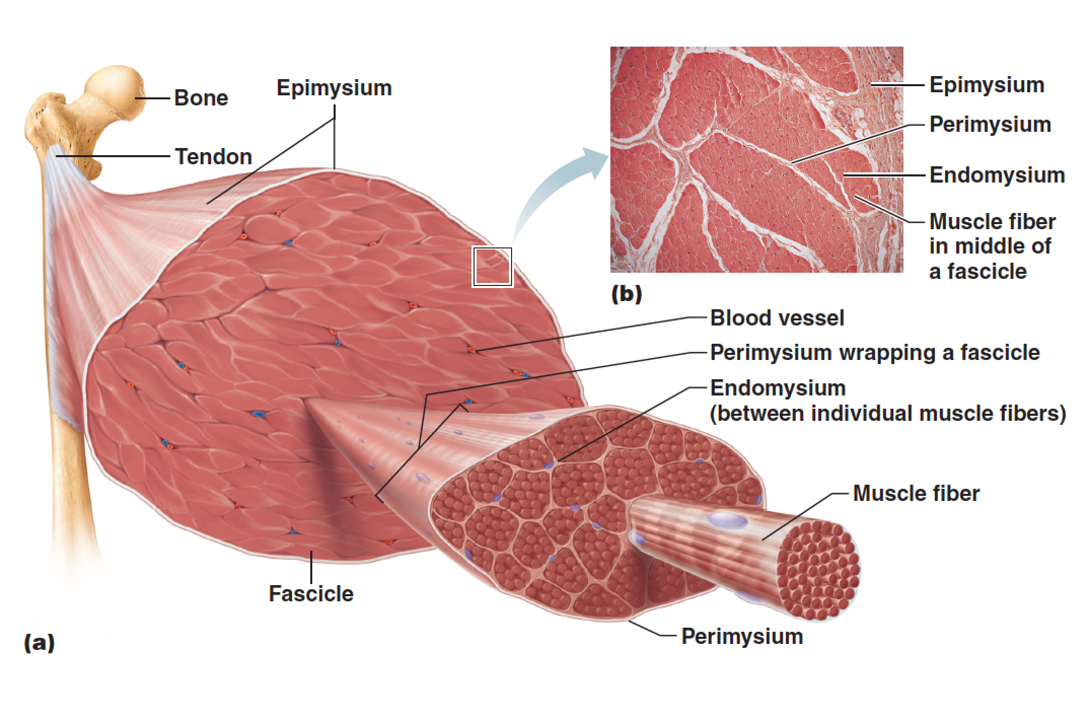 skeletal muscles diagram, Muscles
